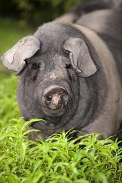 Domestic Pig, British Saddleback, freerange sow, close-up of head by Wayne Hutchinson