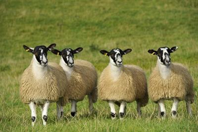 Domestic Sheep, crossbred mule ewe lambs, four standing in pasture, ready for sale