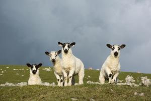Domestic Sheep, four mule lambs, standing in upland pasture, Cumbria by Wayne Hutchinson
