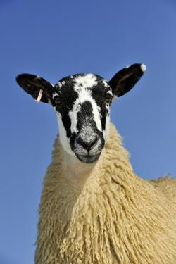 Domestic Sheep, mule gimmer lamb, close-up of head and chest, ready for sale by Wayne Hutchinson