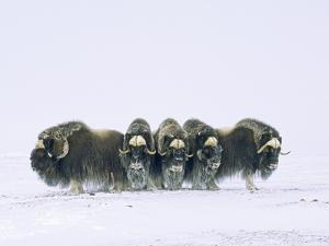 Adult Bull Muskoxen (Ovibos Moschatus) in Defensive Line. Banks Island, Northwest Territories, Arct by Wayne Lynch