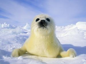 Newborn Harp Seal (Phoca Groenlandica) Pup (yellowcoat), Gulf of the St. Lawrence River, Canada. Na by Wayne Lynch
