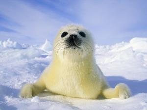 Newborn Harp Seal (Phoca Groenlandica) Pup (yellowcoat), Gulf of the St. Lawrence River, Canada. Na by Wayne Lynch