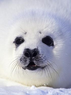 Week-old Harp Seal (Phoca Groenlandica) Pup (whitecoat), Gulf of the St. Lawrence River, Canada. by Wayne Lynch