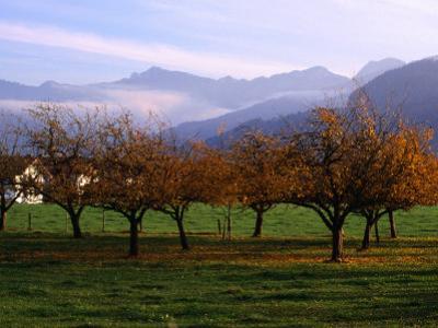 Morning Mist Over Orchards Beneath Bavarian Alps, Germany by Wayne Walton
