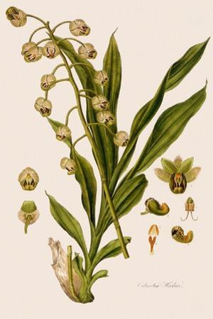 Catasetum Hookeri
