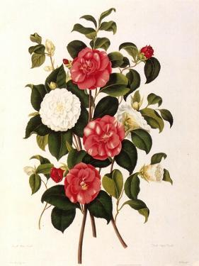 Rose and Camelias by Weddell