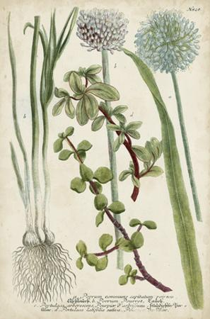 Allium by Weinmann