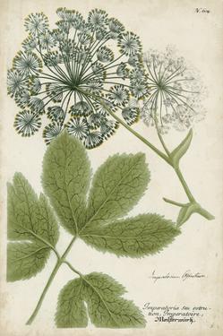 Queen Anne's Lace by Weinmann