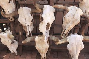 Steer Skulls for Sale, Santa Fe, New Mexico, United States of America, North America by Wendy Connett