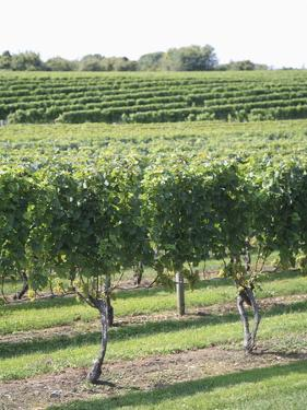 Vineyard of Winery, the Hamptons, Long Island, New York, United States of America, North America by Wendy Connett