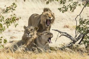 Namibia, Damaraland, Palwag Concession. Three Lions Resting by Wendy Kaveney