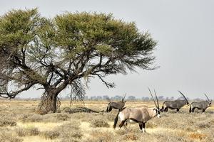 Namibia, Etosha National Park. Five Oryx and Tree by Wendy Kaveney