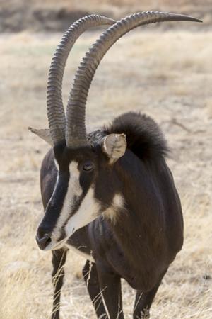 Namibia, Windhoek, Okapuka Ranch. Close-up of Sable Antelope