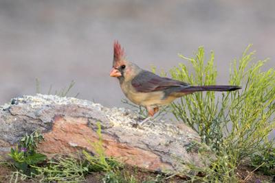 USA, Arizona, Amado. Female Cardinal Perched on Rock