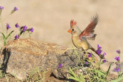 USA, Arizona, Amado. Female Cardinal with Wings Spread