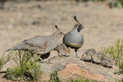 USA, Arizona, Amado. Male and Female Gambel's Quail with Chicks