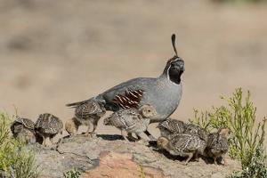 USA, Arizona, Amado. Male Gambel's Quail and Chicks on a Rock by Wendy Kaveney