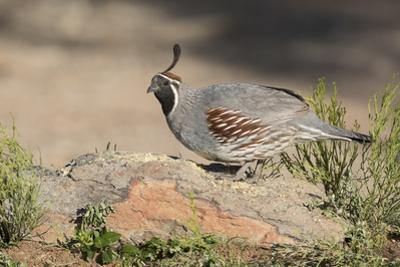 USA, Arizona, Amado. Male Gambel's Quail Perched on a Rock