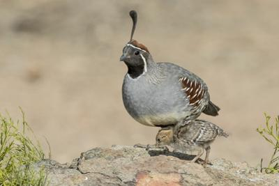 USA, Arizona, Amado. Male Gambel's Quail with Chick