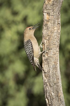 USA, Arizona, Amado. Male Gila Woodpecker on Dead Tree Trunk