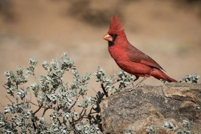 USA, Arizona, Amado. Male Northern Cardinal on Rock