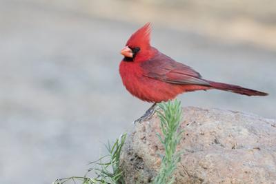 USA, Arizona, Amado. Male Northern Cardinal Perched on Rock