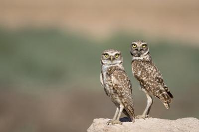 USA, Arizona, Buckeye. a Pair of Burrowing Owls