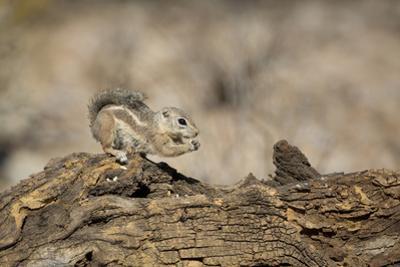 USA, Arizona, Buckeye. Harris's Antelope Squirrel on Log