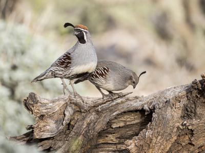 USA, Arizona, Buckeye. Male and Female Gambel's Quail on Log