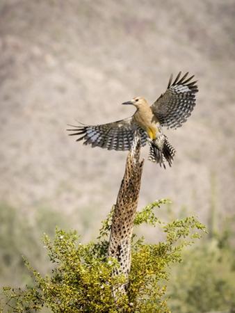 USA, Arizona, Buckeye. Male Gila Woodpecker Lands on Cholla Skeleton