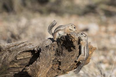 USA, Arizona, Buckeye. Two Harris's Antelope Squirrels on Log