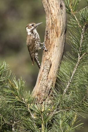 USA, Arizona, Santa Rita Mountains, Arizona, Woodpecker on Tree Trunk