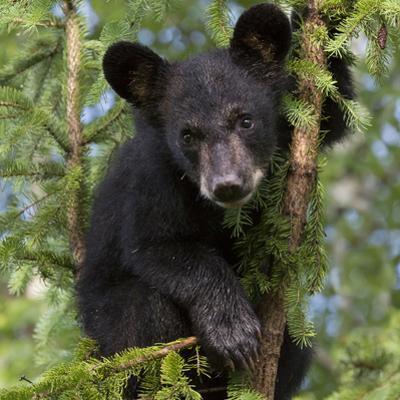USA, Minnesota, Minnesota Wildlife Connection. Black bear in a tree.