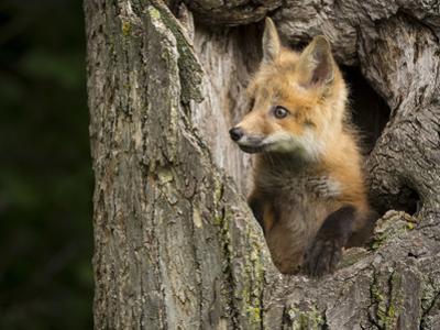 USA, Minnesota, Minnesota Wildlife Connection. Red Fox in a tree.