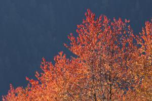 Autumn Colored Tree by Werner Van Steen