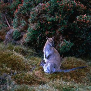 Bennett's Wallaby with Joey, Cradle Mountain-Lake St. Clair National Park, Australia by Wes Walker