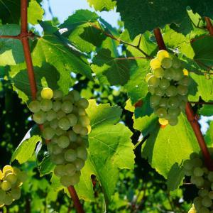 Chardonnay Grapes from the Napa Valley in California, Napa Valley, California, USA by Wes Walker