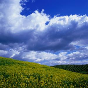 Clouds Over Yellow Mustard Crops and Vineyard, Napa Valley, USA by Wes Walker