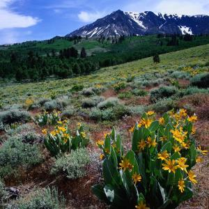Field of Arrowleaf Balsom Root Plants with Mt. Parker Behind, USA by Wes Walker