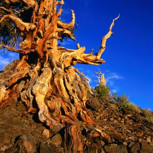 Gnarled Roots and Trunk of Bristlecone Pine, White Mountains National Park, USA by Wes Walker