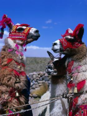 Llamas in Full Dress from the Alto Plano (High Plain) Region, Puno, Peru by Wes Walker