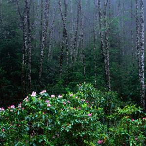 Rhododendren and Western Hemlock Forest in the Del Norte Region, Redwood Nat. Park, California, USA by Wes Walker