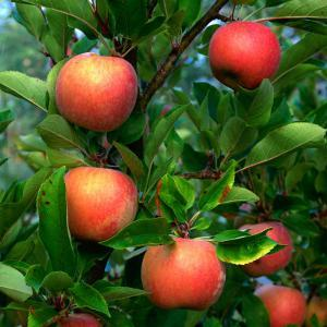 Ripe Apples on a Tree at the Apple Farm, Anderson Valley, Mendocino, California, USA by Wes Walker