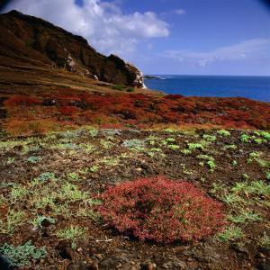 The Endemic Succulent Sesuvium at Punta Pitt, Isla San Cristobal, Galapagos, Ecuador by Wes Walker