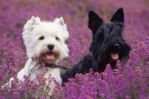 West Highland White Terrier and Scottish Terrier