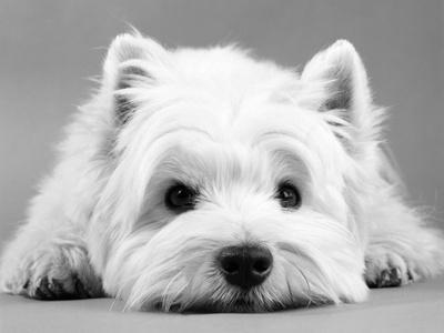 https://imgc.allpostersimages.com/img/posters/west-highland-white-terrier_u-L-Q10OHE80.jpg?p=0