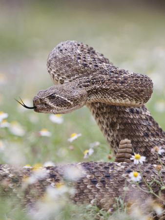 https://imgc.allpostersimages.com/img/posters/western-diamondback-rattlesnake-texas-usa_u-L-PHANJ70.jpg?p=0