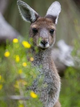 Western Gray Kangaroo (Macropus Fuliginosus), Yanchep National Park, West Australia