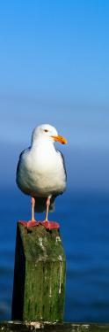 Western Gull Seabird on Post